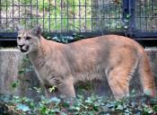 ピューマ ようこそ盛岡へ 市動物公園が公開