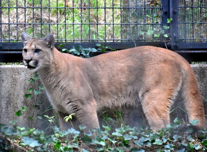 盛岡市動物公園にやってきたピューマの雄タフ
