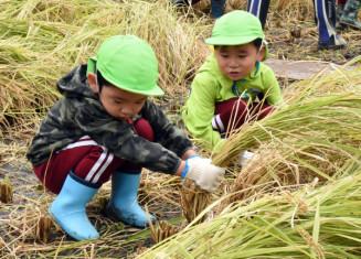 鎌で稲穂を刈り進める子どもたち