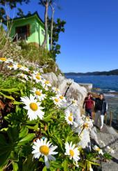 秋空の下、浜風になびくハマギク=10日、大槌町・蓬莱島