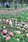 台風、県内の出来秋直撃 収穫直前リンゴ落果、ブロイラー大量死
