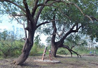 荒廃していた土地を整備し、「夫婦桑」として公開する桑の巨木2本