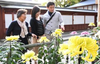 大輪を咲かせた菊の花に見入る観光客