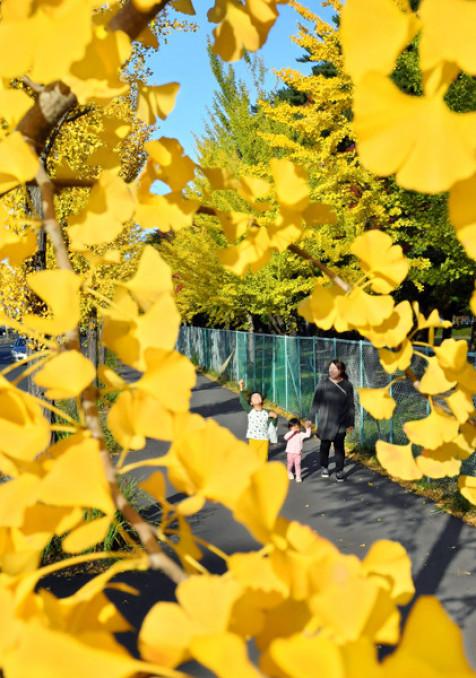 黄色に色づいたイチョウの葉。青空とのコントラストが散歩する市民らを楽しませた=23日、盛岡市みたけ