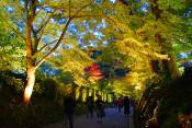 中尊寺、幻想的にライトアップ 11月10日まで「紅葉銀河」