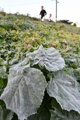 初霜で白くなった簗川の土手の葉や草=4日午前6時半、盛岡市東中野