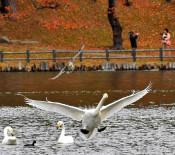 冬の訪れ告げる使者 盛岡・高松池にハクチョウ飛来