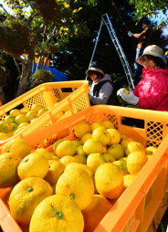 ユズの香りを楽しみながら収穫に励むボランティア=13日、陸前高田市小友町