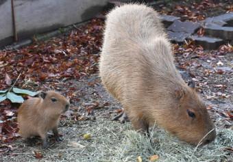 母サクラと一緒に草を食べるカピバラの赤ちゃん(左)