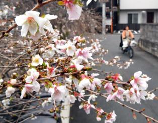 かれんな花をつけ、冬間近を告げるシキザクラ=18日、盛岡市鉈屋町・千手院