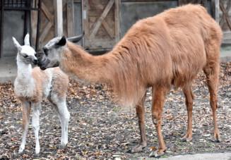 盛岡市動物公園で公開が始まったラマの赤ちゃん
