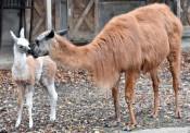 ラマの赤ちゃん すくすく 盛岡市動物公園が公開