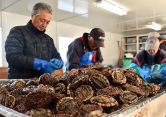 水揚げされたアワビの選別作業に精を出す漁業者