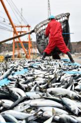 久慈港に水揚げされたサバ