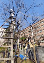 降雪に備え、石割桜の枝につり縄を結び付ける職人たち=27日、盛岡市内丸