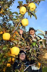 はるかを収穫する平裕一さん(右)。糖度など基準を満たせば冬恋として出荷される=3日、二戸市米沢