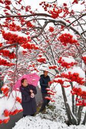 白く雪化粧したナナカマドの実=4日、盛岡市繋