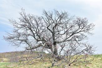 見頃を迎えてもほとんど花をつけなかった亀ケ森の一本桜。樹勢回復のためクラウドファンディングに取り組む=5月
