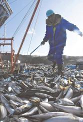 久慈港に水揚げされたサバ。大漁に港は活気づいた