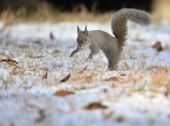 うっすらと積もった雪の上を走り回るニホンリス=13日、盛岡市みたけ・県営運動公園