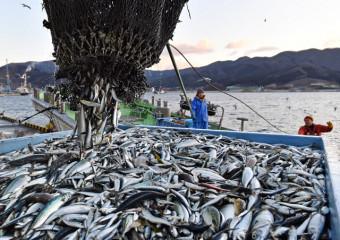 今年初めて水揚げされたサバやマイワシ=4日午前7時6分、大船渡市大船渡町・大船渡魚市場