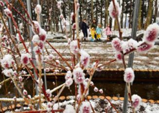 雪をまとい、趣ある風景を成すネコヤナギ=18日、金ケ崎町六原・県立花きセンター