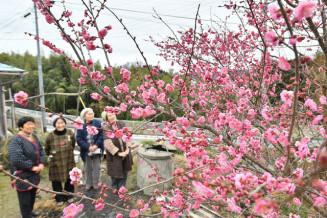 鮮やかに咲き誇り、見頃を迎えた紅梅。辺り一面を春の香りで包んでいる=4日、陸前高田市広田町