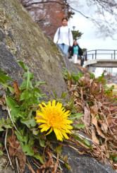 陽気に誘われ、一足早く咲いたタンポポ=9日、盛岡市内丸