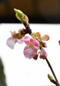 復興の象徴、河津桜が開花 普代、例年より1カ月早く