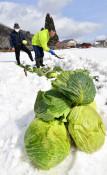 冬過ぎて目覚める緑 西和賀「雪中キャベツ」作業終盤