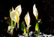 焼石岳(奥州市、西和賀町)=3月24日