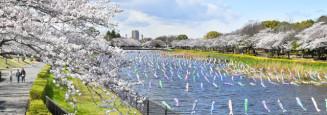 見頃を迎えた鶴生田川沿いのソメイヨシノ=群馬県館林市城町