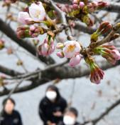 大船渡、観測史上最速で桜開花