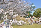 子ども見守るソメイヨシノ 茨城・霞ケ浦総合公園