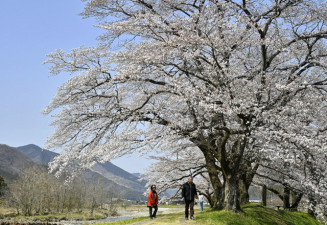 見頃を迎えた佐柄見の桜=26日撮影