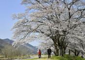 台風被害を越え、自然の美 栃木・佐柄見の桜