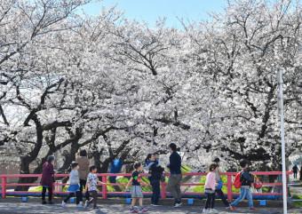 見頃を迎えた袋川沿いのソメイヨシノ=栃木県足利市千歳町