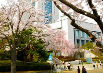 県都の春に彩りを添える茨城県庁周辺のサクラ=27日午後、水戸市笠原町
