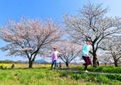 野には菜の花、水辺に桜 茨城・母子島(はこじま)遊水地
