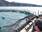 トラウトサーモン、宮古で海面養殖本格化 来月から出荷