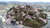 満開の桜が山彩る 栃木・錦着山公園
