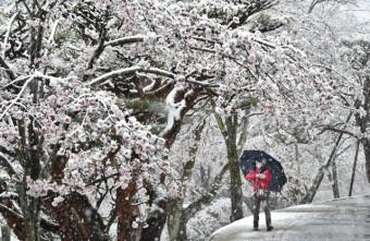 季節外れの雪が積もった八幡山公園の桜=宇都宮市塙田
