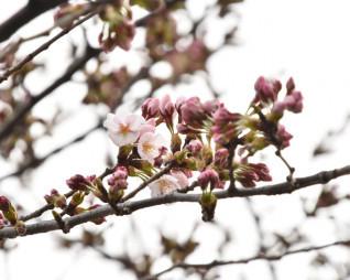 薄桃色の花が咲いた一関市役所本庁舎前の基準木
