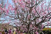 春駆け足「臥竜梅」が満開 山田の県指定天然記念物
