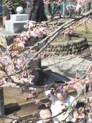 開花が宣言された水沢公園のソメイヨシノ