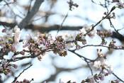 宮古でも桜開花 観測史上最も早く