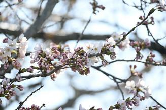 開花した宮古市の桜の標準木