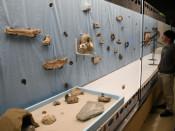 よみがえる太古の海 盛岡・県立博物館、水槽風に化石を展示