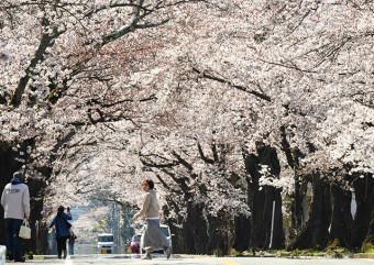 暖かさに誘われ、見頃となった夜の森地区の桜並木
