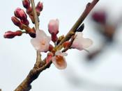 春の訪れ、石割桜が開花 盛岡地裁前の国指定天然記念物
